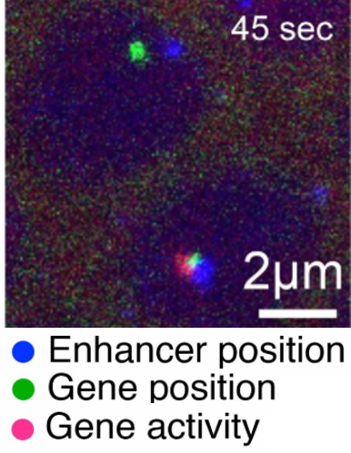 close proximity of enhancer and target genes allows gene activation