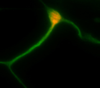 Generation and integration of new CNS neurons by in vivo directed conversion