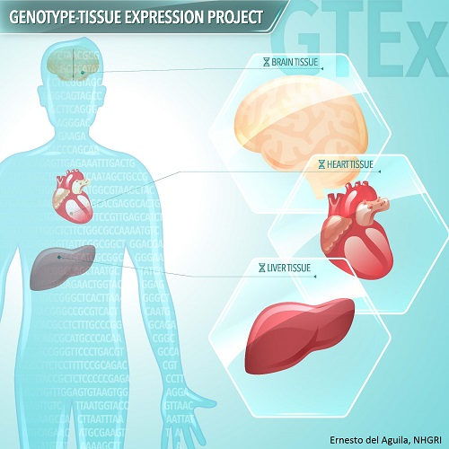Image of Genotype-Tissue Expression Project Tissue Sampling