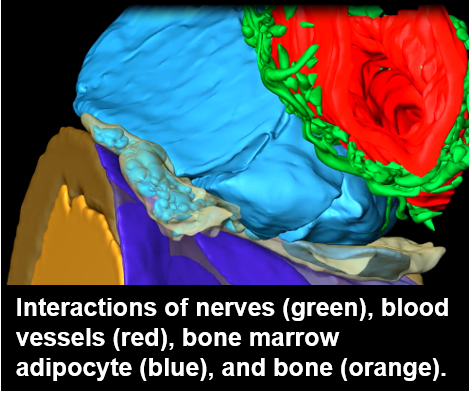 Interactions of the nerves, blood vessels, bone marrow adipocyte, and bone