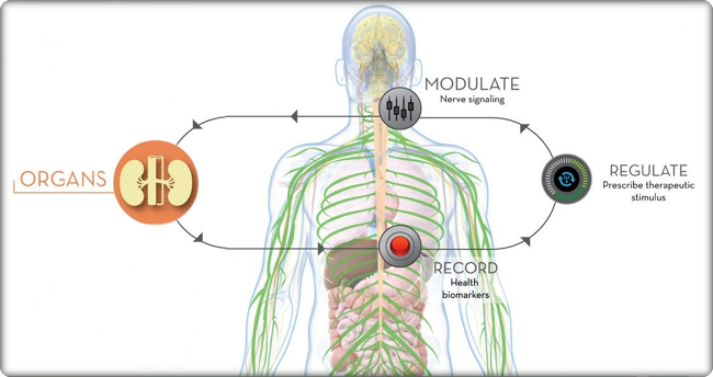 Illustration of how organs use the record, regulate, and modulate process to transmit nerve signals