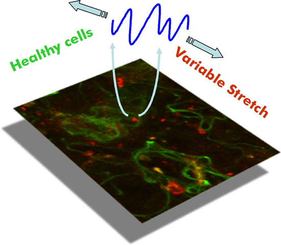 REGULATORY ROLES OF VARIABLE MECHANICAL STIMULI IN CELL FUNCTION