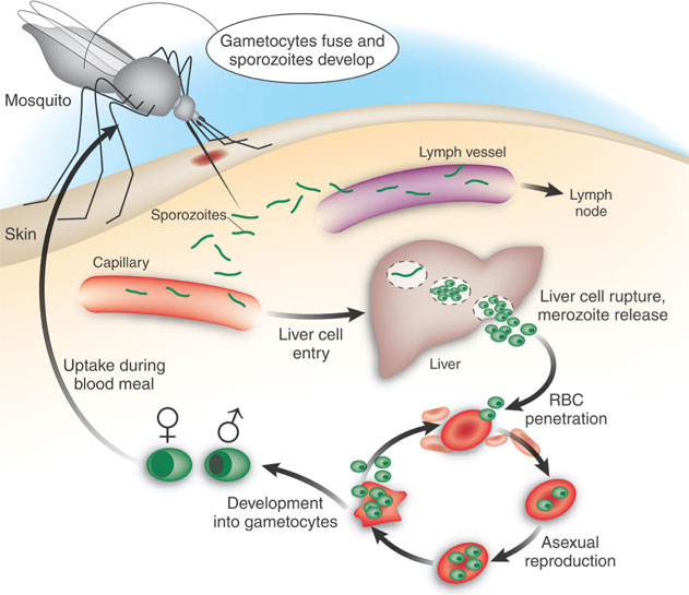 EXPLOITING FATTY ACID METABOLISM TO CURE MALARIA