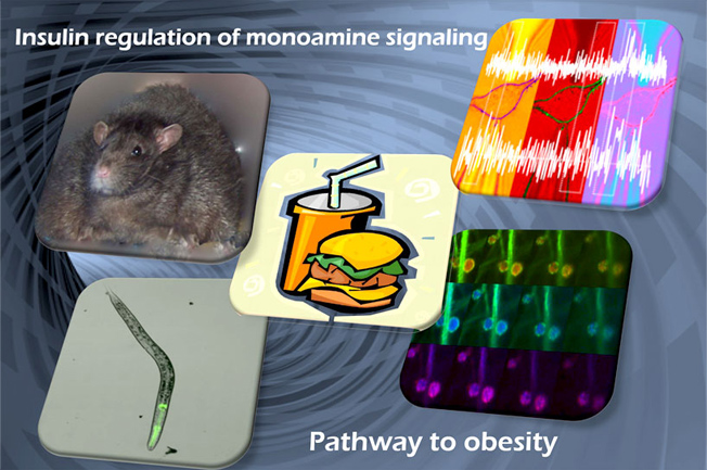 INSULIN REGULATION OF MONOAMINE SIGNALING: PATHWAY TO OBESITY