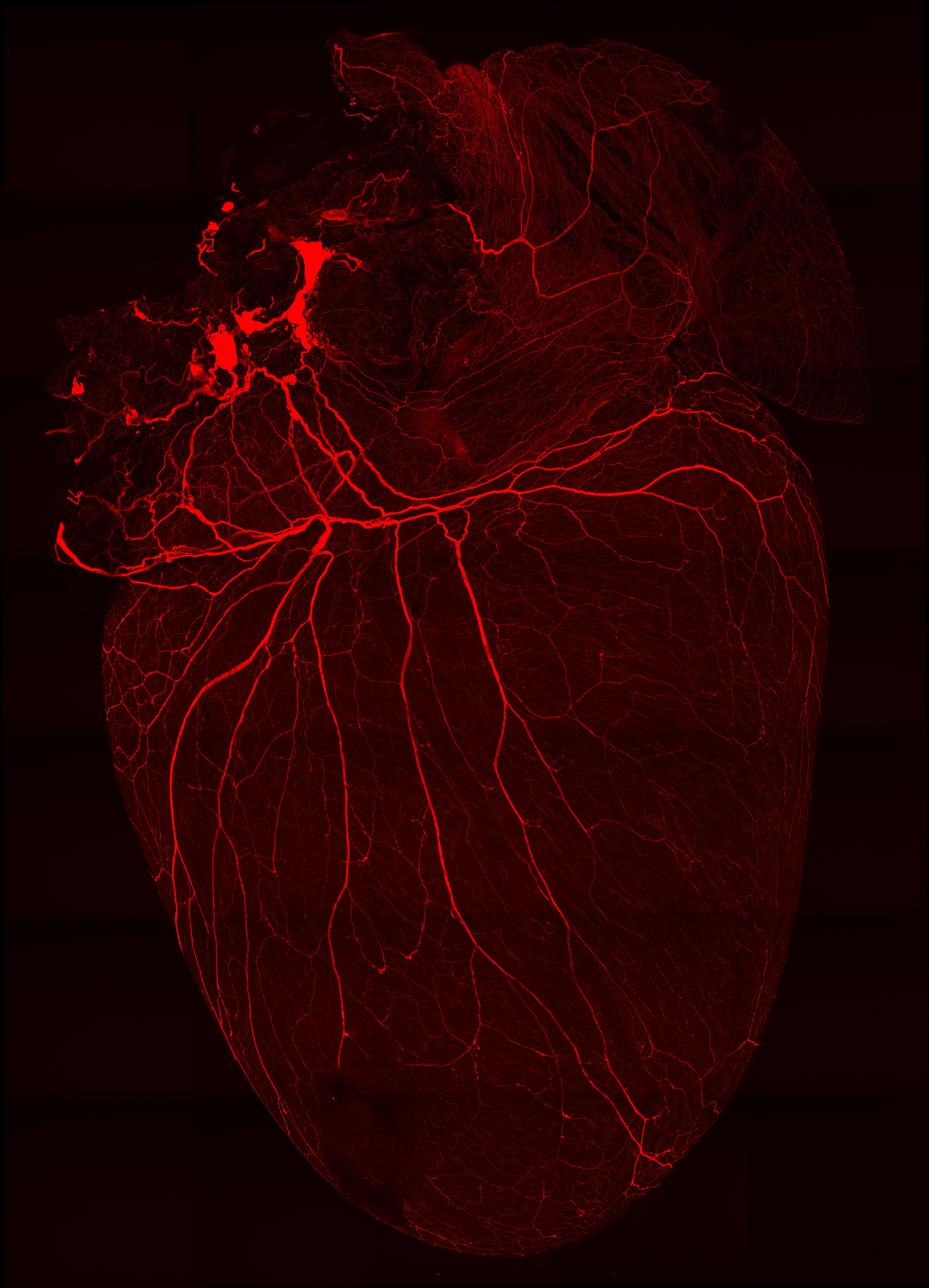 Nerves on the heart
