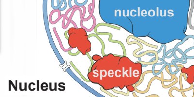 organization of chromosomes around nuclear bodies