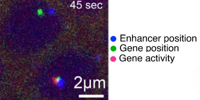 Close proximity of enhancer and target gene allows gene activation