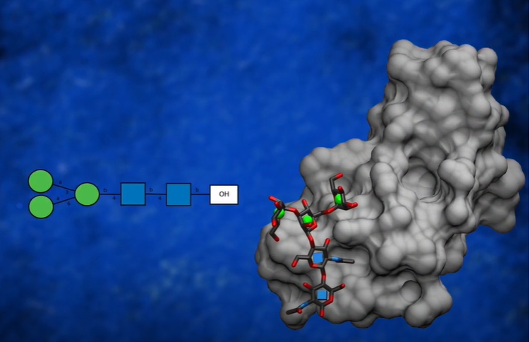 Image of glycan