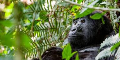 An image of a gorilla looking into bushes.